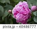牡丹の花 40486777