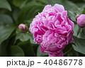 牡丹の花 40486778