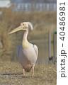 ペリカン 鳥 鳥類の写真 40486981