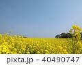 三本木 菜の花 菜の花畑の写真 40490747
