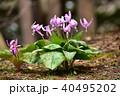 カタクリ 花 ユリ科の写真 40495202