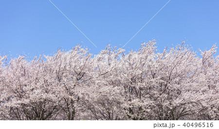 桜の木 40496516