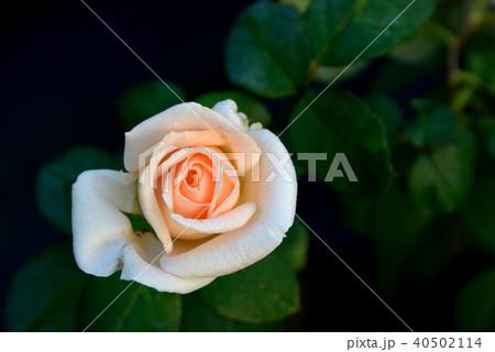 花 フラワー お花 40502114