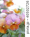 花 植物 ビオラの写真 40502726