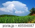 久米島 サトウキビ畑 サトウキビの写真 40504087