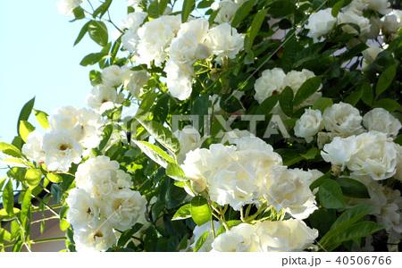 白バラ/グリーンアイス 40506766