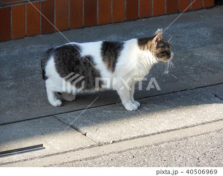 白地にブチ柄の猫 40506969
