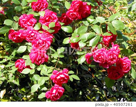 赤いバラ 40507261