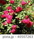 赤いバラ 40507263