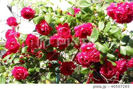 赤いバラ 40507265
