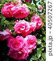 ピンクの大輪の薔薇 40507267