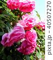 ピンクの大輪の薔薇 40507270