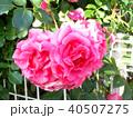 ピンクの大輪の薔薇 40507275