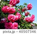 ピンクの大輪の薔薇 40507346