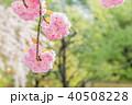 八重桜 春 桜の写真 40508228