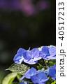 紫陽花 あじさい 花の写真 40517213