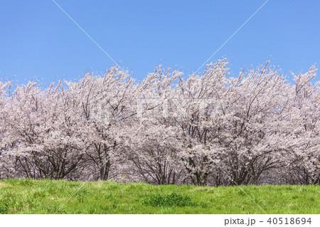 桜の木と草原 40518694