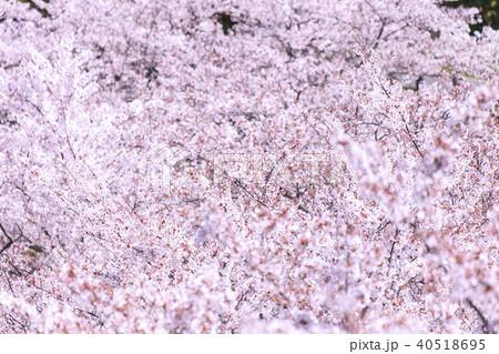 桜の花 40518695