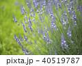 ラベンダー ラベンダー畑 花畑の写真 40519787