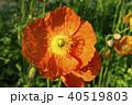ポピー 花 雛罌粟の写真 40519803