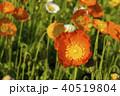 ポピー 花 雛罌粟の写真 40519804