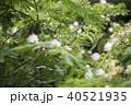 花 植物 ネムノキの写真 40521935