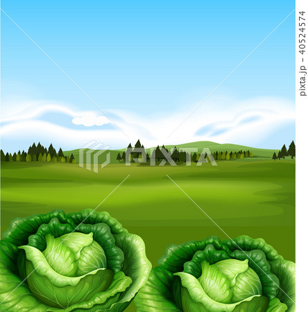 Organic Cabbage with Beautiful Scenery 40524574