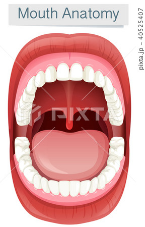 Human Mouth Anatomy on White Background 40525407