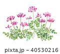 蓮華草 40530216