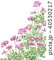 蓮華草 花 水彩のイラスト 40530217