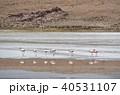 フラミンゴ ラグーニャカナーパ コバシフラミンゴの写真 40531107