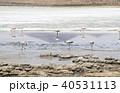 フラミンゴ ラグーニャカナーパ コバシフラミンゴの写真 40531113