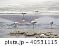 フラミンゴ ラグーニャカナーパ コバシフラミンゴの写真 40531115