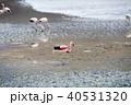 フラミンゴ ラグーニャカナーパ コバシフラミンゴの写真 40531320