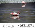 ラグーナエディオンダ フラミンゴ 水鳥の写真 40531571