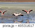 ラグーナエディオンダ フラミンゴ 水辺の写真 40531617