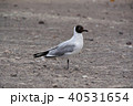 ラグーナエディオンダ 野鳥 ユリカモメの写真 40531654