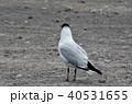 ラグーナエディオンダ 野鳥 ユリカモメの写真 40531655