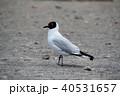 ラグーナエディオンダ 野鳥 ユリカモメの写真 40531657