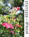沖縄の花 40531915
