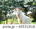 新城島のヤギ 40531916
