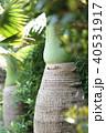 沖縄の木 40531917