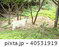 新城島のヤギ 40531919