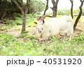 新城島のヤギ 40531920