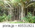 カジュマルの木 40531921