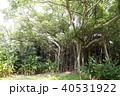 カジュマルの木 40531922