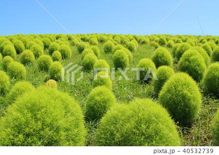 緑のコキア 40532739