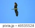 野鳥 鳥 アオサギの写真 40535528