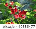植物 花 カイコウズの写真 40536477