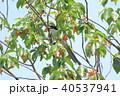 サクランボの木の上のオナガ 40537941